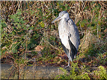 SD7407 : Heron at Moses Gate by David Dixon