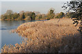 SP9213 : The Northernmost Reed Bed on Marsworth Reservoir by Chris Reynolds
