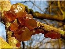 NS4276 : A fungus - Exidia recisa by Lairich Rig