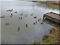 NY9363 : Ducks on Wydon Water by Oliver Dixon
