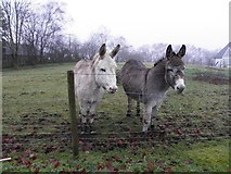 H5172 : A pair of donkeys, Cloghfin by Kenneth  Allen
