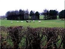 H5172 : Sheep, Cloghfin by Kenneth  Allen