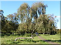SJ6576 : The Crooked Birch Tree, Marbury Country Park by DEREK GARNER