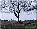 NN7321 : Goats under the trees, Aberuchill by Alan O'Dowd
