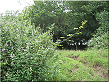 ST6594 : Brambles on the move by Robin Stott
