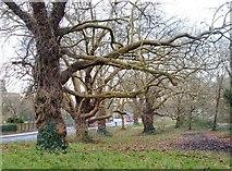 TQ2374 : Plane trees on the edge of Putney Heath by Stefan Czapski