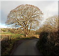 ST5596 : Oak near a bend in the road, Tidenham by Jaggery