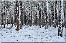 NH9718 : Snowy forestry near Loch Garten by Steven Brown