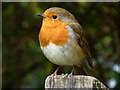 SY9787 : Robin near the information centre at Arne, Purbeck by Phil Champion