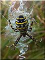 SY9787 : Female wasp spider (Argiope bruennichi) by Phil Champion