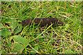 SY9876 : Larva of Deilephila elpenor (Elephant Hawk-Moth) by Phil Champion