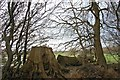 TQ6692 : Stump in boundary hedgerow by John Myers
