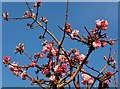 NT9249 : Viburnum fragrans by Barbara Carr