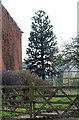 SK7266 : Monkey Puzzle Tree at Ide Farm by J.Hannan-Briggs