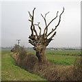 TL8304 : Dead Tree on Field Boundary by Roger Jones
