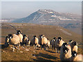 SD6975 : Swaledale sheep above Kingsdale by Karl and Ali