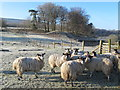 NY6458 : Sheep on frosty ground near Midgeholme Bridge by Mike Quinn