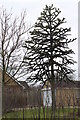 TF0279 : Monkey Puzzle Tree, Watery Lane, Dunholme by J.Hannan-Briggs