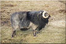 HU5966 : Shetland ram at Skaw, Whalsay by Mike Pennington