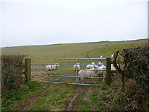 ST7700 : Cheselbourne, sheep grazing by Mike Faherty