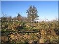 NT8734 : Woodland, Moneylaws Hill by Richard Webb