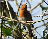 NT7853 : Robin in the sunshine by Barbara Carr