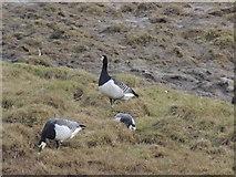 NX4355 : Barnacle Geese by Billy McCrorie