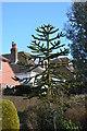 TQ6412 : Monkey Puzzle tree, Gardner Street, Windmill Hill by Julian P Guffogg