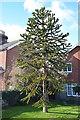 TQ6412 : Monkey Puzzle Tree, Victoria Road, Windmill Hill by Julian P Guffogg