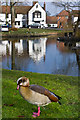 TQ3451 : Egyptian Goose (Alopochen aegyptiacus) by Ian Capper
