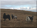 NY5703 : Fell ponies above Blackley Gill by Karl and Ali