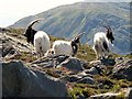 SH6528 : Feral Goats on Rhinog Fawr by Rude Health