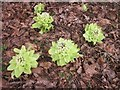 NM8603 : Butterbur appearing through leaf mould by Patrick Mackie