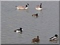 NZ3069 : Waterfowl on Dukes Pond, Rising Sun Country Park by Oliver Dixon