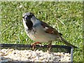 SO1107 : Male house sparrow, Rhymney by Robin Drayton