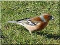 SO1107 : Male chaffinch, Rhymney by Robin Drayton