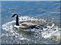 SO1210 : Canada Goose taking the plunge (4), Bryn Bach Park by Robin Drayton