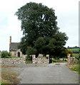 ST3395 : Dominant churchyard tree, Llanddewi Fach by Jaggery