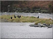 J3731 : Cormorants at Castle Island Park Boating Lake by Eric Jones