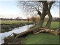 TQ2173 : Pollard willows by Beverley Brook, March 2013 by Stefan Czapski