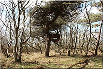 NS2209 : Tree in Culzean Country Park by Billy McCrorie