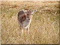 SJ7386 : Young Deer at Dunham Massey by David Dixon