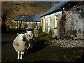 G8888 : Sheep at Burke's - Meenaguse by louise price
