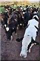 ST0008 : Mid Devon : Cattle Grazing by Lewis Clarke