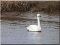 NU0743 : Whooper Swan on South Low by Oliver Dixon
