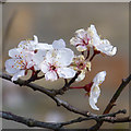 SK4833 : Cherry blossom by David Lally
