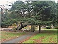 SD5320 : Commemorative Cedar of Lebanon by Ann Cook