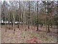 NO4005 : Strip wood, Balcormo by Richard Webb