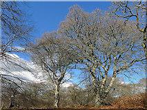 NH5757 : Magnificent Oaks in Drummondreach Wood by Julian Paren