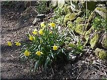 NZ1164 : Daffodils at Wylam by Oliver Dixon